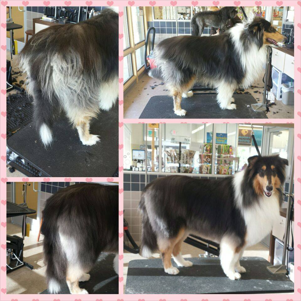 collie_Candy